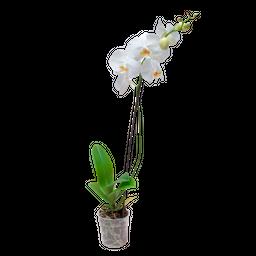 Orquidea Phalaenopsis Una Vara
