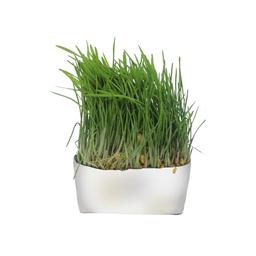 Pasto de Trigo (Wheatgrass)
