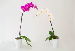 Orquidea Phalaenopsis 1 U