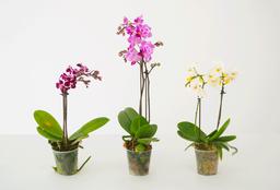 Orquidea Dendrobium 1 U