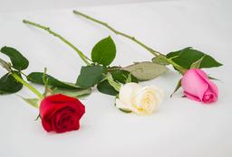 Rosa de 1U